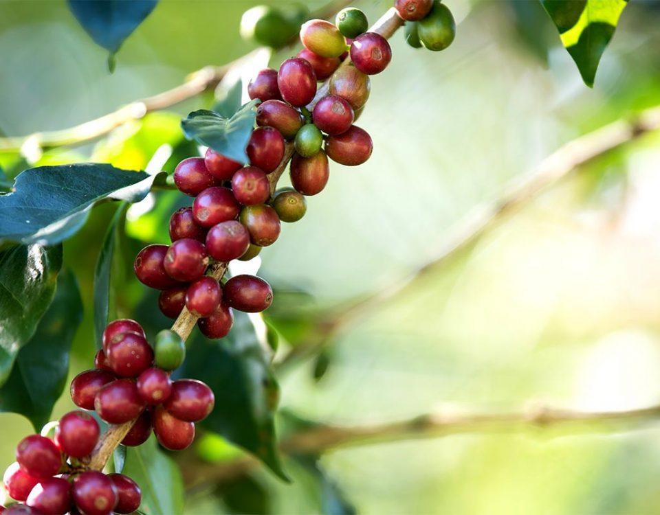 métodos e tipos de colheitas do café