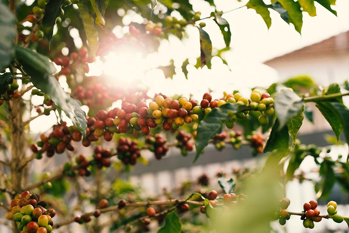 5 diferenças do café arábica e robusta que você precisa conhecer!